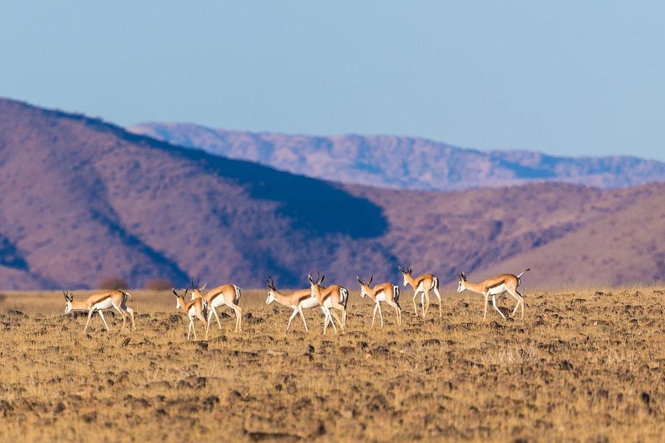 Springboks de Namibie