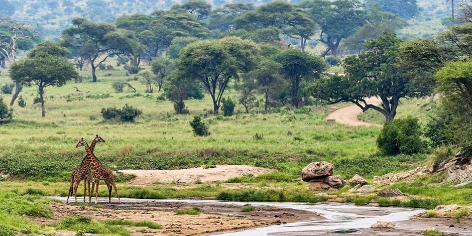 Girafes près de Dar Es Salam